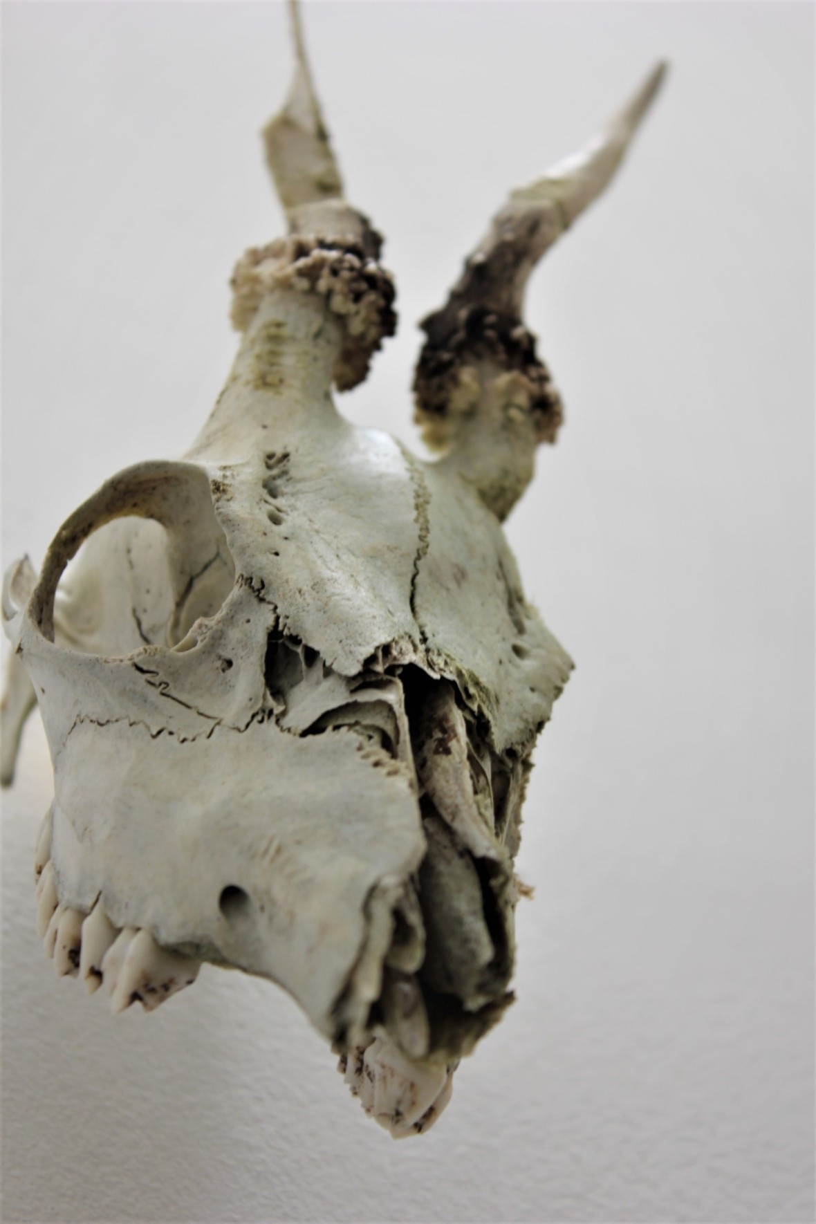 skull of a dear